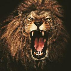Beautiful Lion, Animals Beautiful, Lion Head Drawing, Lion Chest Tattoo, Lion Walking, Lion Wallpaper, Lion Pictures, Like A Lion, Buddha Art