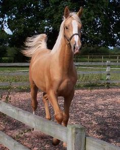 The Gold Fox - first registered palomino Thoroughbred in England, bred in the US and exported to Britain as a yearling colt All The Pretty Horses, Beautiful Horses, Animals Beautiful, Horses And Dogs, Animals And Pets, Thoroughbred Horse, Dressage, Majestic Horse, Horse World