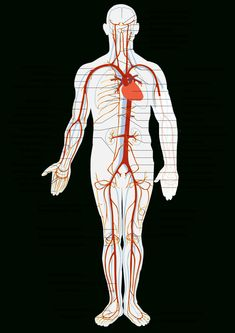 All Arteries In The Human Body Artery - Simple English Wikipedia, The Free Encyclopedia