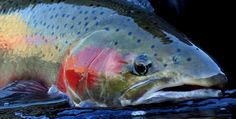 Wild Steelhead Coalition | Dedicated to increasing the return of wild steelhead to the waters of the Pacific Northwest