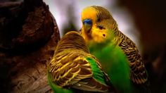 Budgies as pets – Buying, Taming, Feeding, Cleaning, Talking   Zooearth.com - Amazing Animals & Bird's