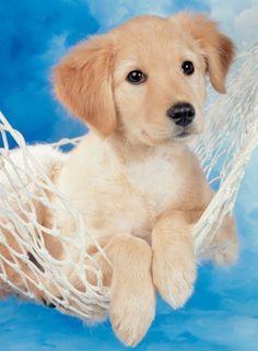 Adorable Little Baby Golden Retriever Puppy!
