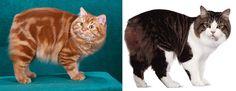 รูปร่างและขนาด : พันธุ์ซิมริคเป็นแมวขนยาว มีขนาดใหญ่ ขนยาวคล้ายแมวเปอร์เซีย ใบหูเล็ก หูตั้ง ลูกในตากลมรี ลักษณะหัวกลมกะโหลกใหญ่  http://www.triphathara.com/view.php?id=2322
