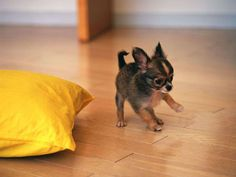 Chihuahua Average weight: 4 lbs Maximum weight: 6 lbs Chihuahuas are tied for spot number two, with an average weight of four pounds. They're an extremely intelligent breed, and with a life expectancy between 14 and 20 years, one of the longest-living as well.