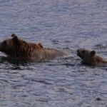 45. Grizzlybjørne mor og unge, svømmer over flod, Alaska på tværs