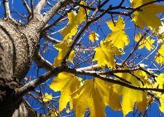 Drzewo, Klon, Żółte, Liście