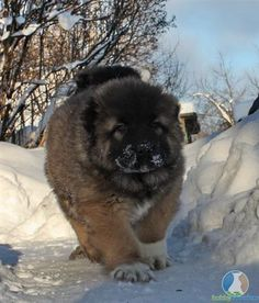 Caucasian Mountain Dog Puppy ahhh it looks like Clover 9 years ago when I picked her up in the snow! Bulldog Puppies, Dogs And Puppies, Big Dogs, Cute Dogs, Russian Bear Dog, Caucasian Shepherd Dog, Baby Animals, Cute Animals, Types Of Dogs