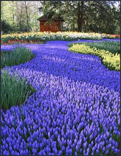"Dreaming about Spring today. . . .  (looks like a ""river"" of grape hyacinths!)  That's a lot of bulbs to plant!"
