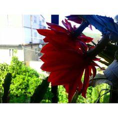 #epiphyllum#garden#succulent#cactus#flowers#gardening#flower#succulove#plant#love#oncidium#plants#paphiopedilum#tillandsia#bloom#succulents#cacti#nature#flowerstagram#spring#cactuslover#gumbiigrows#naturelovers#f4f#l4l#fbf#followback#like4like#follow4follow by _crown.of.roses_