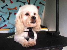 This DOG-ID#A1515407  I am a neutered male, white Poodle - Miniature.  The shelter thinks I am about 1 years and 0 months old. I weigh approximately 12 pounds.  I have been at the shelter since Oct 16, 2014.   This information is less than 1 hour old.   For animals under the age of 8 weeks and/or moms with litters, please contact the Center for availabliity.  Adoption fees include spay/neuter surgery, all animals will be sterilized prior to release.  Adoption Information