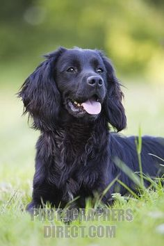 Black Er Spaniel Working Dog Stock Photo