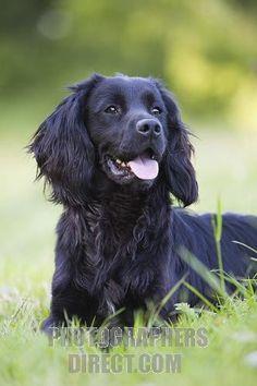 black cocker spaniel working dog stock photo