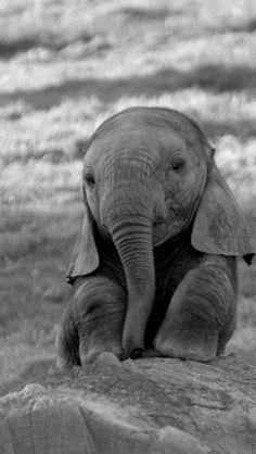 More Than 72 Adorable Photos Of Baby Elephants fotos adorables de elefantes bebés entzückende fotos von baby-elefanten foto adorabili di elefantini Baby Animals Pictures, Cute Animal Pictures, Animals And Pets, Baby Wild Animals, Spring Animals, Rare Animals, Black Animals, Jungle Animals, Cute Creatures
