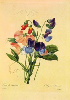 Lathyrus odoratus Sweet Pea Redouté Botanical Illustration by SurrendrDorothy, via Flickr
