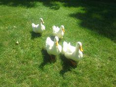 Our Pekin Ducks!