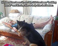 """""""Husband Has Been Ill, Our Big GSD Has Been Holding Hands and Kissing Him To Help Him Feel Better""""."""