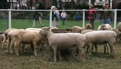 10 Reasons Wool is Wonderful: Prince Charles' Campaign for Wool and Sheep Come to NYC! You're Hot, Bryant Park, Braided Rugs, Wool Carpet, Yarn Shop, Carbon Footprint, Biodegradable Products, Sheep, Pure Products