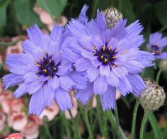 'Cupid's Dart' Catananche caerulea - Ancient Greek and Romans used the flowers in love potions. Unusual Flowers, Beautiful Flowers, Flower Seeds Online, Buy Seeds, Sun Perennials, Colorful Plants, Drought Tolerant Plants, Types Of Plants, Flowers Nature