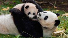 Самое доброе видео...Мама панда и ее ребенок!