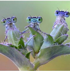 Weird Insects, Cool Insects, Bugs And Insects, Nature Animals, Animals And Pets, Funny Animals, Cute Animals, Cute Creatures, Beautiful Creatures
