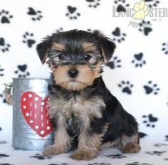 #Morkie #Charming #PinterestPuppies #PuppiesOfPinterest #Puppy #Puppies #Pups #Pup #Funloving #Sweet #PuppyLove #Cute #Cuddly #Adorable #ForTheLoveOfADog #MansBestFriend #Animals #Dog #Pet #Pets #ChildrenFriendly #PuppyandChildren #ChildandPuppy #LancasterPuppies www.LancasterPuppies.com Morkie Puppies For Sale, Cute Puppies, Animals Dog, Cute Animals, Lancaster Puppies, Mans Best Friend, Puppy Love, Adoption, Pets