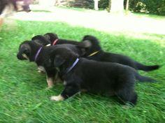 Justice and his siblings Aug 2013 Gsd Puppies, The Shepherd, How Big Is Baby, German Shepherds, Siblings, August 13, Doggies, Animals, Rock
