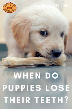 When Do Puppies Lose Their Teeth? Teeth Development and Puppy Teething Puppy Teething, Teething Stages, Puppy Stages, Puppy Biting, Labrador Retriever, Puppies, Friends, Dogs, Animals