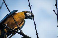 Arara-canindé, Ara ararauna, Blue-and-yellow-macaw, pássaro, bird, vida animal, animal life, nature, ave tropical, tropical bird, foto, photo, fotografia, photography, camila belleza, tiago areia. AREIA BELLEZA   PHOTO & DESIGN - Portfolio - Vida Animal
