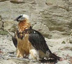 Il gipeto, conosci questo splendido rapace? Il gipeto (Gypaetus barbatus), detto anche gipaeto, è un uccello rapace della famiglia Accipitridae, unica specie del genere Gypaetus.Comunemente noto come avvoltoio barbuto o avvoltoio degli agnelli