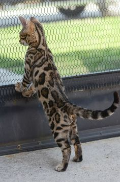 Bengal.For more ..visit www.largestcatbreed.com                                                                                                                                                     More