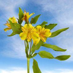 Best Fancy Yellow Alstroemeria Flowers   Global Rose