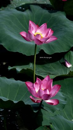 Water Flowers, Flowers Nature, Water Lilies, Lotus Flowers, Koi Art, Pond Life, India Beauty, Water Garden, Lily