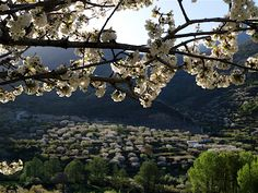 Come to Spain in March and you will be amazed by the beauty of two million blossoming cherry trees in the Jerte Valley - Spain