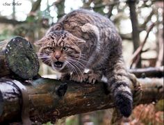Volunteering to save the Scottish wildcat: from photography to ...
