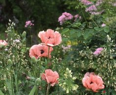 "'Mrs. Perry' is a fine old heritage oriental poppy that does best in full sun on well-drained soil. Read more on pg. 137 of ""Gardening, Naturally"""