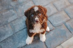 Brunito 3 months #Spanish Waterdog #Perro de Agua Cute Cats And Dogs, Animals And Pets, Funny Animals, Cute Animals, Pet Dogs, Dogs And Puppies, Dog Cat, Spanish Water Dog, Funny Animal Pictures