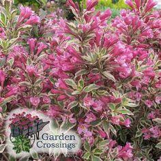 My Monet™ Weigela florida 'Verweig' (Weigela) Compact, long early summer bloomer, great variegated foliage all season long.