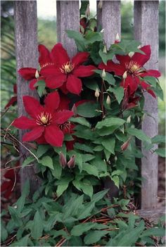 Clematis 'Niobe ' might work on downspout trellis