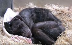 59-Year-Old Dying Chimp Refuses Food, But Then She Recognizes Her Old Caretaker's Voice