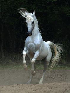 Arab and Andalusian horse, 34 photos in Animals category, Animals photos All The Pretty Horses, Beautiful Horses, Animals Beautiful, Horse Photos, Horse Pictures, Andalusian Horse, Arabian Horses, Horse Rearing, Friesian Horse