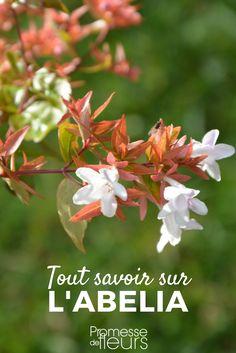 L'abelia est un superbe arbuste à feuillage décoratif et floraison estivale. Découvrez-le ! #jardin #jardinage #arbuste