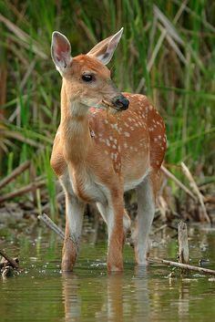 Young deer standing in water, its colors and stillness perhaps making it seem like a tree, blinding other creatures to its existence. Innocence...