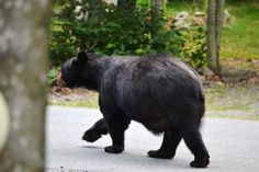 August 2014 - the black bears are on the move! Time to bulk up for winter!