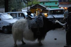 Haminasto | Manali Trip- Do you also want to ride on Yak? Than you have to Visit to Manali. Book a Trip to Manali and Enjoy Riding on Yak and much more to Fun here.