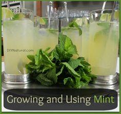 How to Grow Mint - T Flowers Garden Love