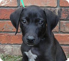 Pepper , Pointer / Lab mix | Puppies | Pinterest | Lab Mixes, Pointers ...