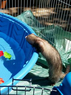 Hazel was finally dry and had made her opinion known that the pool was just not cool...until she was dry...then, you know, she thought may be she overreacted lol Ferret, Lol, Thoughts, Cool Stuff, Board, Animals, Cool Things, Animales, Animaux
