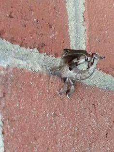 Another view of Sphinx moth