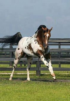 Secret Colors, stunning Appaloosa stallion. Cheri Prill