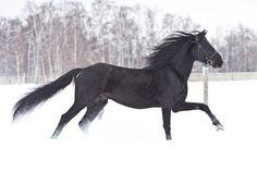 Horses for sale - Orlov Trotter Horse Russia Breeding For horsing Poker